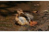 Field work in with Brazilian urban birds